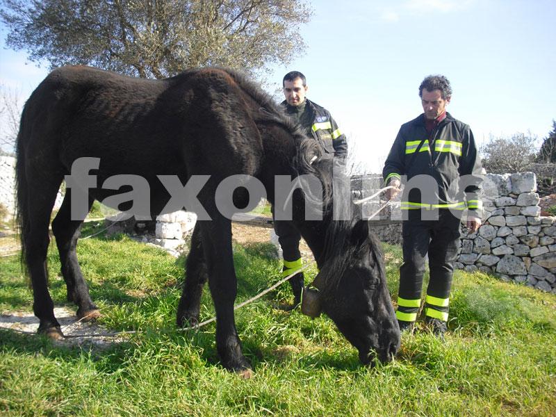 cavallo-recuperato--dai-VV.F.-di-Putignano-dalla-s.p.161-noci-barsento
