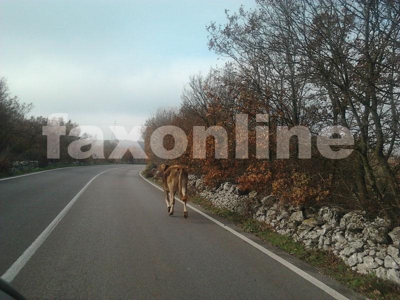 mucca-sulla-strada-2-11