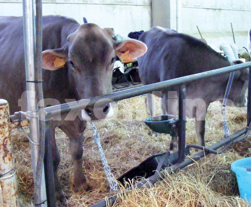 mucca-12-11-bis