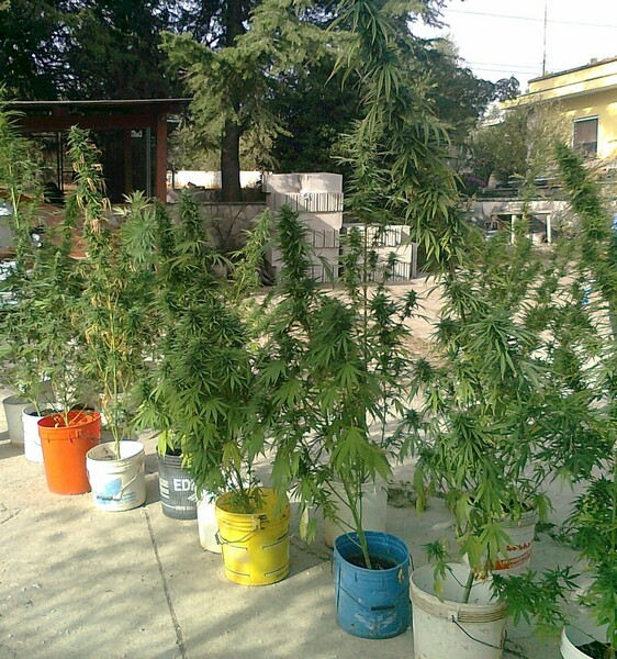 cannabis_in_casa1