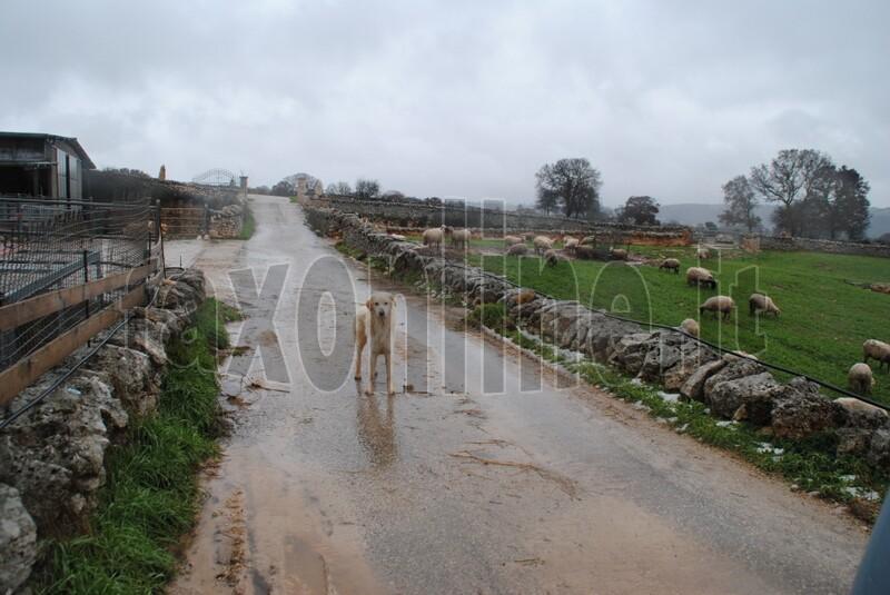 pecore_e_vitelli_trovati_morti