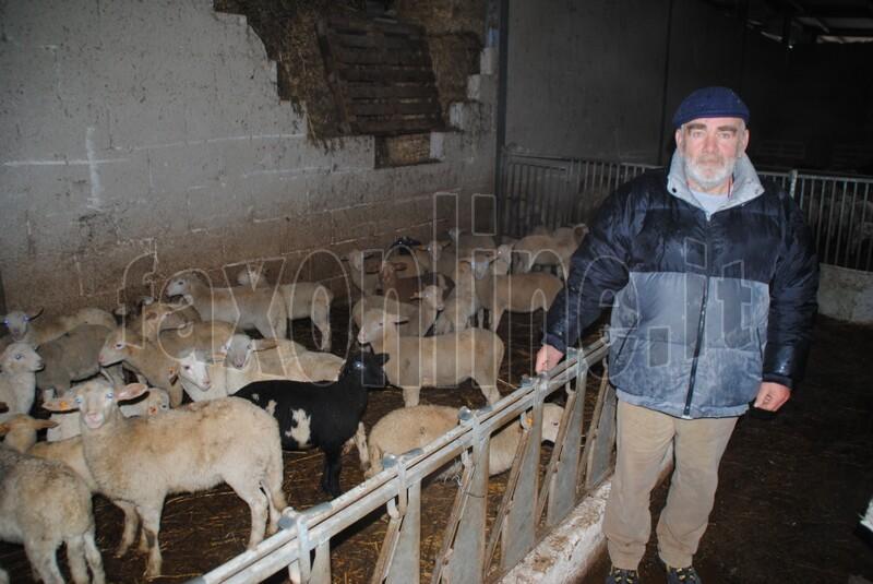 pecore_e_vitelli_trovati_morti_1