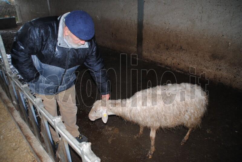 pecore_e_vitelli_trovati_morti_2