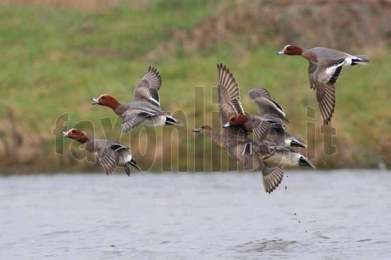 zac uccelli migratori