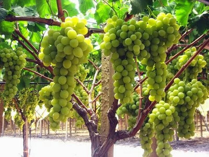 uva-Italia