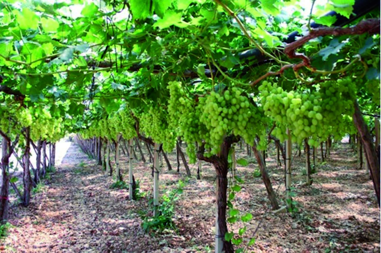tendone uva da tavola