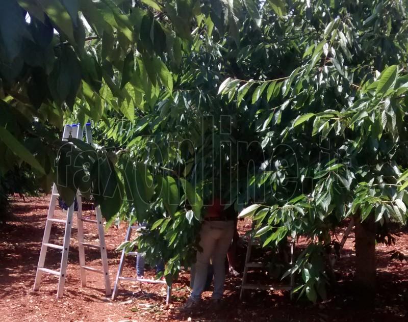 raccolta ciliegie oriz 1