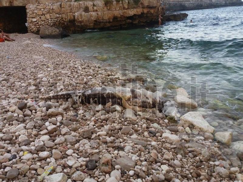 Carcassa delfino in spiaggia  2