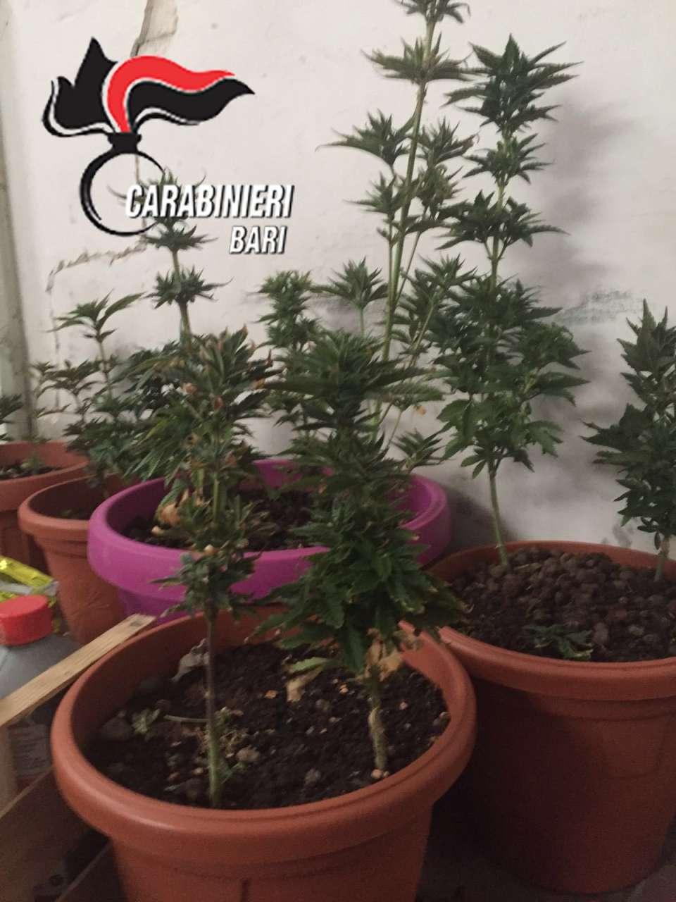 marijuana copia