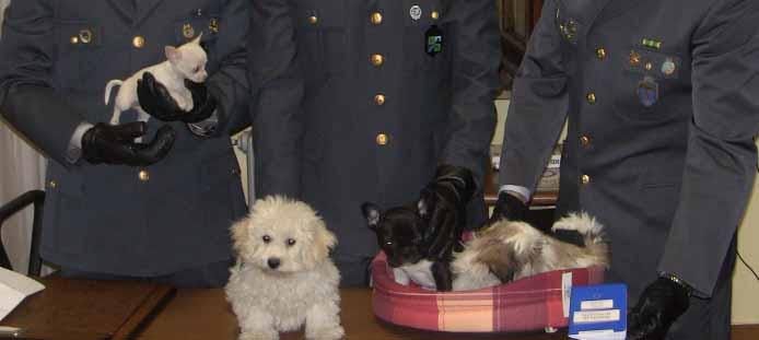 foto-cuccioli-maltese-chihuahua-brichon1