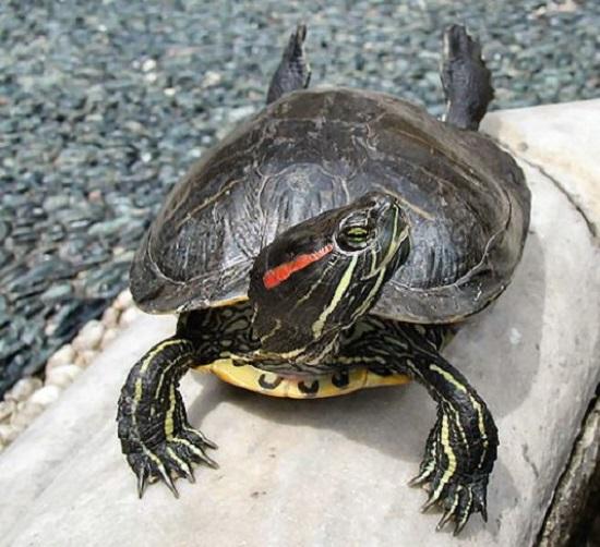 tartaruga-dalle-guance-rosse