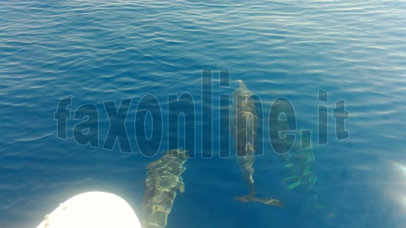 delfini stenella